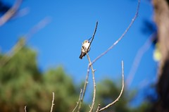 DSC_1575 (john.r.d.reynolds) Tags: goldengatepark birds wildlife hummingbirds