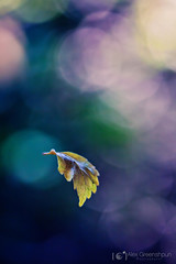 First Flight (alexgphoto) Tags: pink autumn light colour green fall nature colors beauty yellow canon season fly flying leaf flora colorful poetry purple bokeh turquoise space flight violet 100mm falling gravity minimalism magical