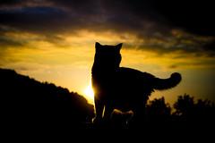 Dramatic Sky (Blochmntig) Tags: shadow bw cats mountain nature silhouette clouds cat sunrise schweiz switzerland feline chat sonnenuntergang suisse himmel wolken katze sonne katzen whitecat kater britishshorthair mountian gegenl