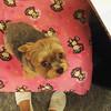 (WOGO*) Tags: dog cute yorkie fat snapshot samsung note galaxy cuteness chubby yorky nizomi