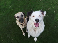 Punchkin and Shepo (Rayya The Vet) Tags: dog pets vet canine australianshepherd dogwalk whippetcross