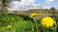 Spring Dandelions, Bunsinglaan, Zeist, Netherlands (HereIsTom) Tags: travel flowers plant holland nature netherlands dutch spring europe view you sony nederland cybershot vegetable dandelion views lente bloemen zeist webshots voorjaar paardenbloem hx9v bunsinglaan