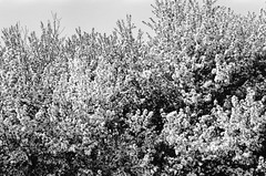 Flowering trees (emma.dwyer) Tags: blackandwhite chicago roll1 nikonfm 50mmlens