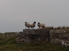 Climbed better than we did! (Pickersgill Reef) Tags: sheep climbing countydurham goldsboroughcarr flickrandroidapp:filter=none