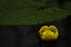 Water Lily (EmilJoh) Tags: summer lake flower water rain yellow canon leaf drops waterlily lily 7d raindrops waterdrops raining lilypad tiveden greenleaf nupharlutea yellowwaterlily nuphar lutea canon7d