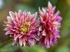 PS__DSC6273 (_Maji_) Tags: dahlia dahlias allxpressus