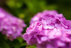 Freelensing Flowers (Pixelglo Photography) Tags: pink summer sunlight green sunshine garden 50mm nikon focus purple bokeh smooth free hydrangea lensing tiltshift d80 smoothbokeh nikond80 freelensing hydrangeaplant
