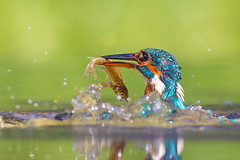 Kingfisher-9 (Andrew Haynes Wildlife Images) Tags: superb