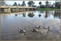 The Quadrella (PhotosbyDi) Tags: lake nature water birds swimming landscape geese nikon ducks poultry waterscape d90 lakebenalla sunsetetc
