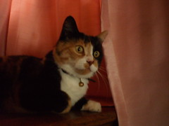 Autumn (universalcatfanatic) Tags: wood pink autumn orange cats brown white black stairs cat dark gold golden wooden stair floor bell curtain hard tortoiseshell case staircase calico tortie lay hardwood laying