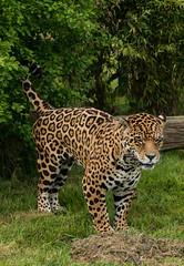 DSC_0765 (CDC88) Tags: blackandwhite black animal animals cat zoo cub nikon tiger lion leopard bigcat jaguar amur whf d800e