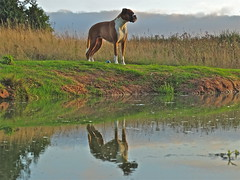 """How's This - Or Do You Want Me Carrying The Ball?"" (Deepgreen2009) Tags: dog pet reflection home water ball pose garden pond boxer paddock trixy"