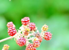 Nature | Berries (petergonera) Tags: red macro nature nikon berries naturephotography macrophotography nikonphotography