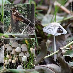 ..Herbst im Wald (peterphot) Tags: autumn forest mushrooms herbst pilze wald collagen
