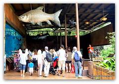 Fish over the Crowd. (cpark188) Tags: river picasa safari touristspot paintnet viewinggallery riversafari giantstingray singaporeriversafari