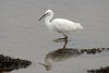 Little Egret. (stonefaction) Tags: nature birds river scotland little fife wildlife eden egret faved guardbridge