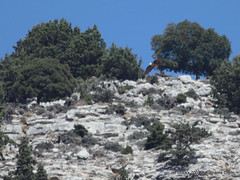 Fouraging Gypaetus barbatus (Jef Dockx) Tags: bartgeier beardedvulture gypaetusbarbatus lammergier gypatebarbu