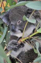 Koala (Julien Falissard) Tags: animal perth koala australie mammifre faune poils 2013