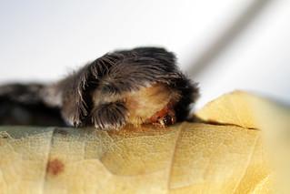 Puss Caterpillar - Study