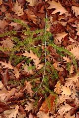 31 oktober 2013 (RW-V) Tags: autumn herbst herfst apeldoorn canonefs1755mmf28isusm orderbos canoneos60d lautumne