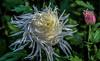 Exotic Chrysanthemum (12bluros) Tags: white flores flower floral flora exotic mum chrysanthemum crisantemo nybg kiku newyorkbotanicalgarden blueribbonwinner kikutheartofthejapanesegarden thistlechrysanthemum