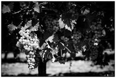 Provence #11 (stuep jr. 2) Tags: blackandwhite bw france blackwhite provence aubignan silverefexpro2 sigmaa35mm