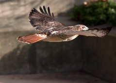 "Red Tailed Hawk - in flight • <a style=""font-size:0.8em;"" href=""http://www.flickr.com/photos/30765416@N06/11393247496/"" target=""_blank"">View on Flickr</a>"