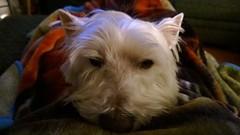 My Sam Dog