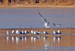 Herring Gull landing (1krispy1) Tags: gulls herringgull ringedbillgull coloradobirds