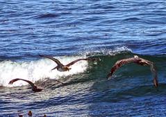 Monterey Bay (Steve Holsonback) Tags: monterey pacific grove sony alpha peninsula asilomar a77