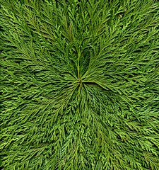 55771.02 Chamaecyparis (horticultural art) Tags: evergreen starburst chamaecyparis horticulturalart
