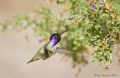 Little Ball of Energy (Happy Photographer) Tags: winter bird hummingbird lasvegas nevada costashummingbird happyphotographer amyhudechek hendersonbirdperserve