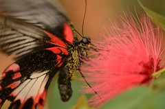 Black beauty (Rene Mensen) Tags: red black flower macro butterfly wings nikon vlinder bloem vleugel d5100