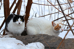 two cats by Morningside Pond (@harryshuldman) Tags: new york nyc morning wild urban snow west fall nature leaves animal cat canon fur rebel drive eyes feline bokeh harlem manhattan side parks foliage upper domestic stray greater dslr morningside catseye uws feralcat feral t3i nycparks nycpark
