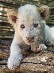 Posing white lion cub
