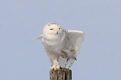 Snowy Owl balancing on one leg (Lee J2) Tags: talons snowyowl lancastercountypa voganville