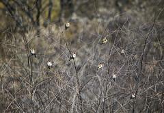 (katunchik) Tags: nature birds natur bulgaria priroda bulgarie  bulgarien bulharsko primorsko