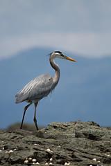 Great Blue Heron / Garzn Azulado (Eduardo Mena U.) Tags: greatblueheron ardeaherodias uvita garzn garzaceniza familiaardeidae garznazulado emenafoto giraaocr