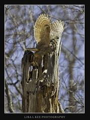 """Great Horned Owl Take Off"" (Lisa L Kee Photography) Tags: bird nature canon wildlife naturallight owl 500mm birdofprey greathornedowl bif birdinflight babyowl owlet owlnest 500mmf45 canon7d lisalkee lisalkeephotography canon500mmf45"