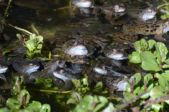 common frogs spawning in garden pond (willjatkins) Tags: frog britishwildlife gardenwildlife commonfrog britishamphibians ukreptilesandamphibians