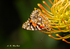 The Butterfly vs the Protea 1 - Kula, Maui (Barra1man) Tags: flower macro nature butterfly garden insect hawaii flying olympus maui protea paintedlady kula tropicalflower flyinginsect olympusdigitalcamera mauiagriculturalresearchstation infinitexposure