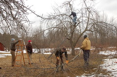 "Steve's Apple Pruning Acrobatics <a style=""margin-left:10px; font-size:0.8em;"" href=""http://www.flickr.com/photos/91915217@N00/13528356263/"" target=""_blank"">@flickr</a>"