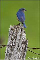 Eastern Bluebird (male) (Earl Reinink) Tags: blue ontario canada bird nature nikon flickr niagara earl bluebird easternbluebird naturephotography nikond4 earlreinink reinink urraiuodha