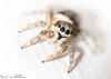 Zebra Spider (Billy Clapham) Tags: uk summer macro nature closeup female spider nikon wildlife arachnid lincolnshire british nikkor jumpingspider 70300 diopter salticus scenicus zebraspider dcr250 raynox utterby raynoxdcr250 dioptre 70300mmvr nikond7100 billyclapham