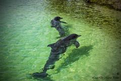 Cayo Largo (Cuba) - Delfini Playa Sirena (Luca De Marco Photo) Tags: travel sea photo foto dolphin cuba playa natura caribbean paraiso cayo sirena demarco caraibi cayolargo delfini nikond3300 lucademarco lucademarcophoto