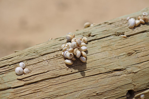 small snail shells