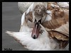 Time for a snooze (TAKEUSTOO) Tags: swans birds wildlife water waders wildlifephotography wetlands waterfowl wonderful nature animals allnaturesparadise beauty