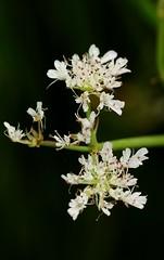Oenanthe fistulosa. Tubular Water-dropwort. (All Botanical Photography) Tags: oenanthefistulosa tubularwaterdropwort dropwort apiaceae umbelliferae waterdropwort