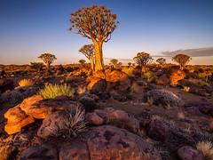 Quivertree Forest (v-_-v) Tags: namibia sunset goldenhour quiver tree africa southernafrica camping travel landscape rocks