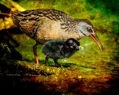 Virginia Rail- Lessons (Johnrw1491) Tags: virginia rail mother chick lessons nature wildlife shorebirds maternity avian art